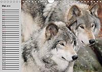 Wölfe. Verwegene Anmut (Wandkalender 2019 DIN A4 quer) - Produktdetailbild 5