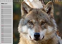 Wölfe. Verwegene Anmut (Wandkalender 2019 DIN A4 quer) - Produktdetailbild 3