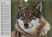 Wölfe. Verwegene Anmut (Wandkalender 2019 DIN A4 quer) - Produktdetailbild 4