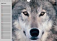 Wölfe. Verwegene Anmut (Wandkalender 2019 DIN A4 quer) - Produktdetailbild 6