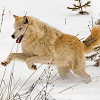 Wölfe / Wolves 2019 - Produktdetailbild 2