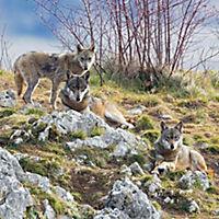 Wölfe / Wolves 2019 - Produktdetailbild 3