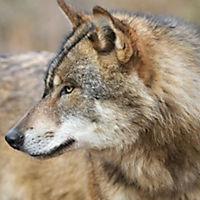 Wölfe / Wolves 2019 - Produktdetailbild 4