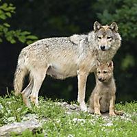 Wölfe / Wolves 2019 - Produktdetailbild 8