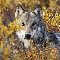 Wölfe / Wolves 2019 - Produktdetailbild 9