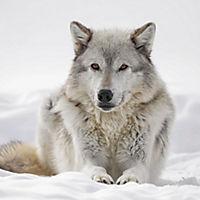 Wölfe / Wolves 2019 - Produktdetailbild 11