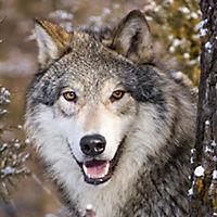 Wölfe / Wolves 2019 - Produktdetailbild 12