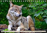 Wolf - Imposanter Jäger (Tischkalender 2019 DIN A5 quer) - Produktdetailbild 9
