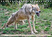 Wolf - Imposanter Jäger (Tischkalender 2019 DIN A5 quer) - Produktdetailbild 5