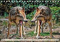 Wolf - Imposanter Jäger (Tischkalender 2019 DIN A5 quer) - Produktdetailbild 7
