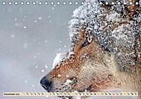 Wolf - Imposanter Jäger (Tischkalender 2019 DIN A5 quer) - Produktdetailbild 12