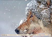 Wolf - Imposanter Jäger (Wandkalender 2019 DIN A2 quer) - Produktdetailbild 12