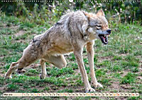 Wolf - Imposanter Jäger (Wandkalender 2019 DIN A2 quer) - Produktdetailbild 5