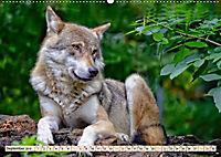 Wolf - Imposanter Jäger (Wandkalender 2019 DIN A2 quer) - Produktdetailbild 9