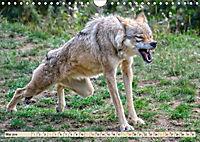 Wolf - Imposanter Jäger (Wandkalender 2019 DIN A4 quer) - Produktdetailbild 5