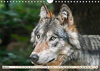 Wolf - Imposanter Jäger (Wandkalender 2019 DIN A4 quer) - Produktdetailbild 6