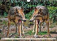 Wolf - Imposanter Jäger (Wandkalender 2019 DIN A4 quer) - Produktdetailbild 7