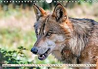 Wolf - Imposanter Jäger (Wandkalender 2019 DIN A4 quer) - Produktdetailbild 1