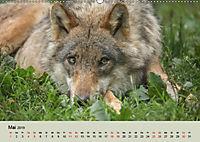 Wolfsrudel (Wandkalender 2019 DIN A2 quer) - Produktdetailbild 5