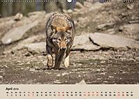 Wolfsrudel (Wandkalender 2019 DIN A2 quer) - Produktdetailbild 4