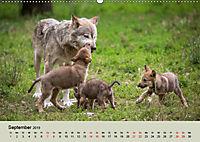 Wolfsrudel (Wandkalender 2019 DIN A2 quer) - Produktdetailbild 9