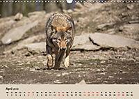 Wolfsrudel (Wandkalender 2019 DIN A3 quer) - Produktdetailbild 4