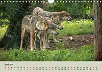 Wolfsrudel (Wandkalender 2019 DIN A4 quer) - Produktdetailbild 6