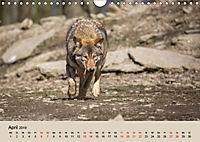 Wolfsrudel (Wandkalender 2019 DIN A4 quer) - Produktdetailbild 4