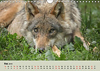 Wolfsrudel (Wandkalender 2019 DIN A4 quer) - Produktdetailbild 5