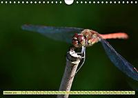 Wunder der Evolution Libellen (Wandkalender 2019 DIN A4 quer) - Produktdetailbild 10