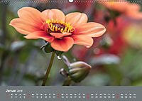 Wundervolle Blütenpracht - Fotowalk im Dahliengarten (Wandkalender 2019 DIN A2 quer) - Produktdetailbild 1
