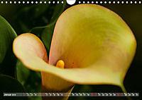 Zantedeschia - Edle Schönheit (Wandkalender 2019 DIN A4 quer) - Produktdetailbild 1