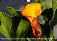 Zantedeschia - Edle Schönheit (Wandkalender 2019 DIN A4 quer) - Produktdetailbild 5