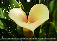 Zantedeschia - Edle Schönheit (Wandkalender 2019 DIN A4 quer) - Produktdetailbild 7