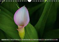 Zantedeschia - Edle Schönheit (Wandkalender 2019 DIN A4 quer) - Produktdetailbild 9