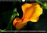 Zantedeschia - Edle Schönheit (Wandkalender 2019 DIN A4 quer) - Produktdetailbild 11