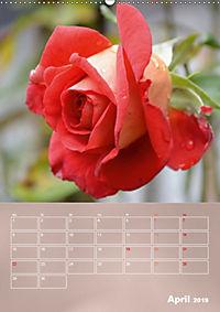 Zarte Schönheiten - Rosen (Wandkalender 2019 DIN A2 hoch) - Produktdetailbild 4