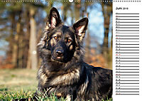 Zauberhafte Langhaar Schäferhunde (Wandkalender 2019 DIN A2 quer) - Produktdetailbild 6