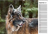 Zauberhafte Langhaar Schäferhunde (Wandkalender 2019 DIN A2 quer) - Produktdetailbild 12