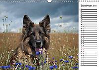 Zauberhafte Langhaar Schäferhunde (Wandkalender 2019 DIN A3 quer) - Produktdetailbild 9