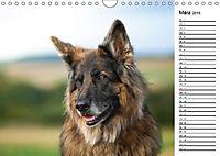 Zauberhafte Langhaar Schäferhunde (Wandkalender 2019 DIN A4 quer) - Produktdetailbild 3