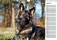 Zauberhafte Langhaar Schäferhunde (Wandkalender 2019 DIN A4 quer) - Produktdetailbild 6