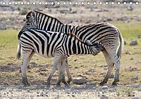 Zebras - Afrikas Wildpferde (Tischkalender 2019 DIN A5 quer) - Produktdetailbild 6