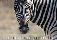 Zebras - Afrikas Wildpferde (Wandkalender 2019 DIN A4 quer) - Produktdetailbild 4