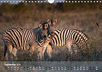 Zebras - Afrikas Wildpferde (Wandkalender 2019 DIN A4 quer) - Produktdetailbild 9