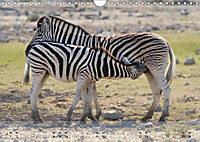 Zebras - Afrikas Wildpferde (Wandkalender 2019 DIN A4 quer) - Produktdetailbild 6