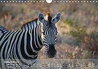 Zebras - Afrikas Wildpferde (Wandkalender 2019 DIN A4 quer) - Produktdetailbild 12