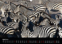 Zebras - Faszination der Streifen (Wandkalender 2019 DIN A3 quer) - Produktdetailbild 4