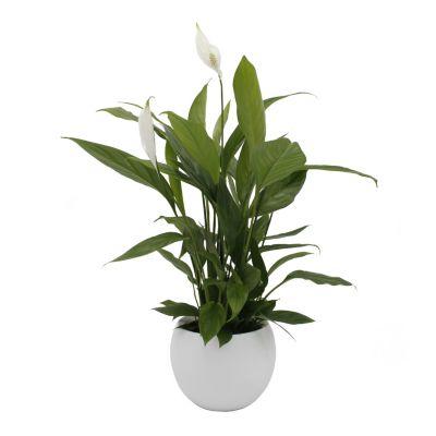 Zimmerpflanze Spathiphyllum, im Keramiktopf, weiß
