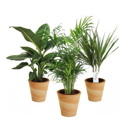 Zimmerpflanzen-Mix II 3er Set, 1x Diefenbachia, 1x Chamaedorea 1x Dracena marginata, 10-12cm Topf im dekorativen Tontopf - terracottafarben